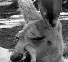 Kangaroo in B&W, Gold Coast, Australia by krista121