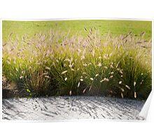 Pennisetum alopecuroides grasses Poster