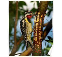 Yellow-bellied Sapsucker Enjoying His Sweet Meal Poster