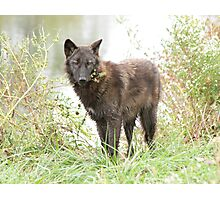The wolf of the lake Photographic Print