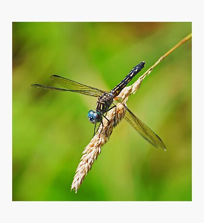 Meadowhawk Photographic Print