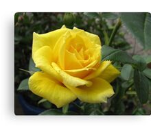Tickle me yellow - not pink! Captivating Golden Rose Canvas Print