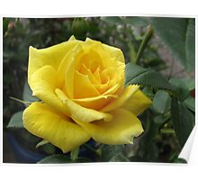 Tickle me yellow - not pink! Captivating Golden Rose Poster