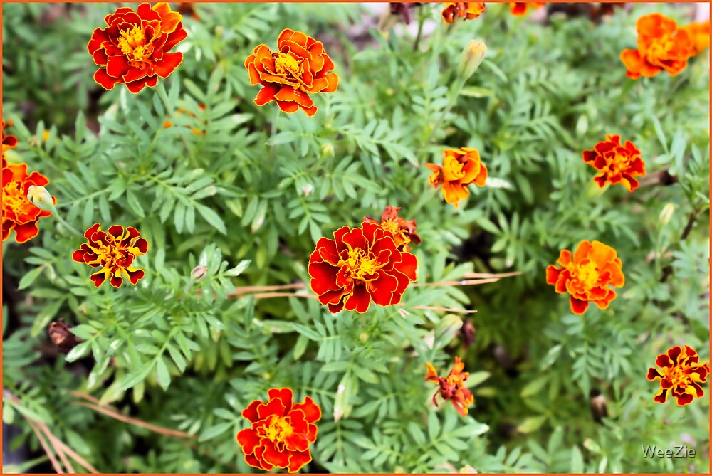 Marigolds All A'bloom by WeeZie