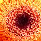 Orange Gerbera by Sharon Brown