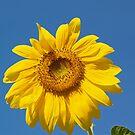 Summer Sunflower by Alex Cassels