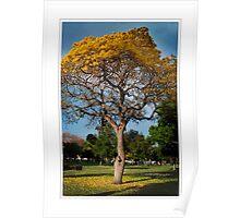 sunlight tree in St. Pete, FL Poster