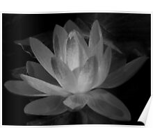 Water lily in B&W, Gold Coast, Australia Poster