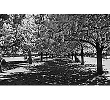 Cherry Blossoms in Black and White Photographic Print