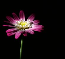 good morning daisy day by Clare Colins