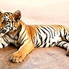 Tiger Cub Lying Down, Thailand  by Carole-Anne