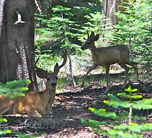8 point stag and baby buck deers by Debra Thomas