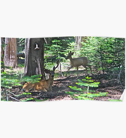 8 point stag and baby buck deers Poster