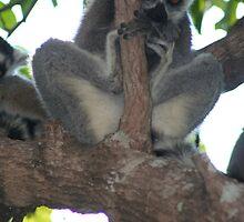 Ring Tailed Lemur by calummaimages