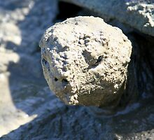 Aldabra Giant Tortoise by calummaimages