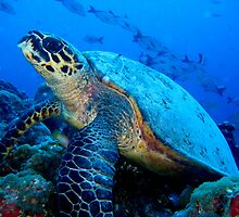 Green turtle by calummaimages