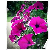 Lovely Petunias Poster