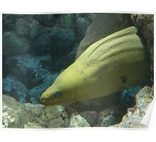 Green Moray Eel, Not far from the scene of the Grouper Poster