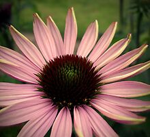 Echinacea by Rewards4life