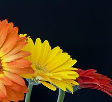 The Three Gerberas by meremail