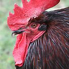 Rooster by Cathie Tranent