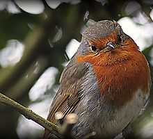Robin Redbreast by naturelover