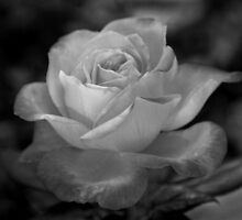 The Rose by Sherie Howard