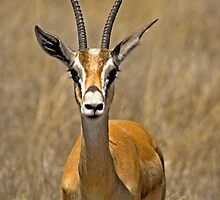 Grant's Gazelle (Nanger granti) by Konstantinos Arvanitopoulos