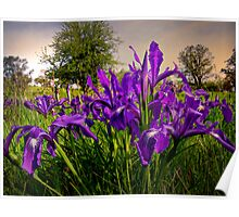 Wild Iris and Light Poster