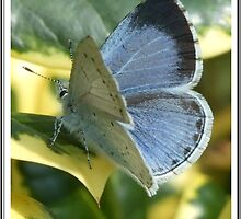 holly blue butterfly by clob94