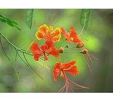 Miniature poinciana flowers photo Photographic Print