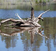 Drift Wood Reflection  by Payne24