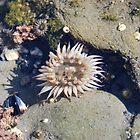 Beautiful Sea Anemone by Payne24