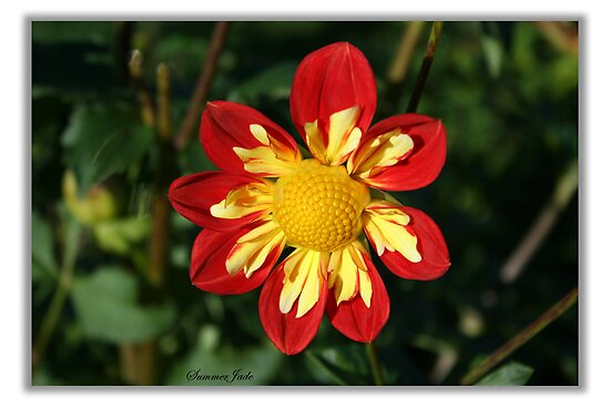 Red and Yellow...Dahlia ~ Maybe? by SummerJade