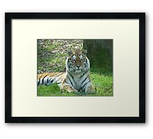 Tiger Photographic image Framed Print
