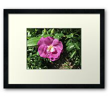 An Old English Rose Framed Print