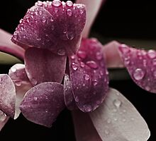 Spring Magnolia And  RainDrops  by Evita