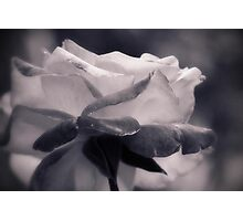 Rose not Red Photographic Print