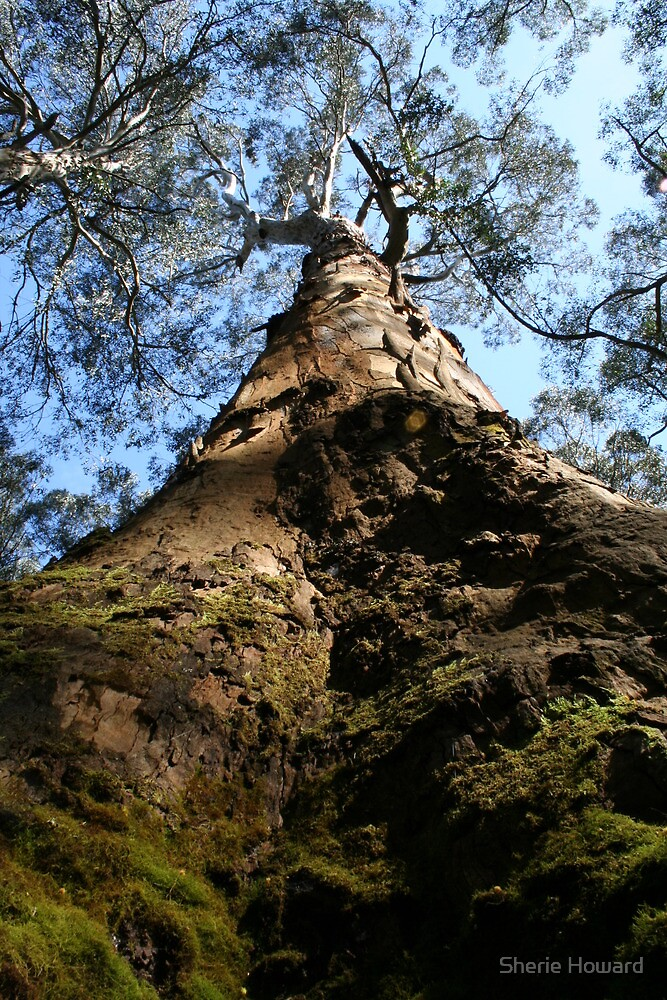Giant Tree, Darlimurla vic by Sherie Howard