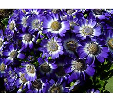 Purple Patch - Groundcover Photographic Print