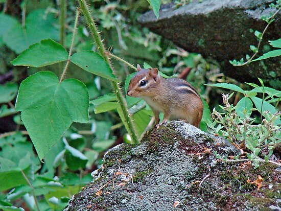 Eastern Chipmunk - Tamias striatus by MotherNature