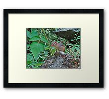 Eastern Chipmunk - Tamias striatus Framed Print