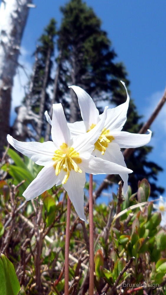 Avalanche Lily by bruxeldesign