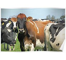 brown  cow  Poster