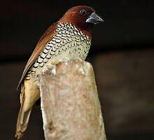 Spice Finch by JasminsPhotos
