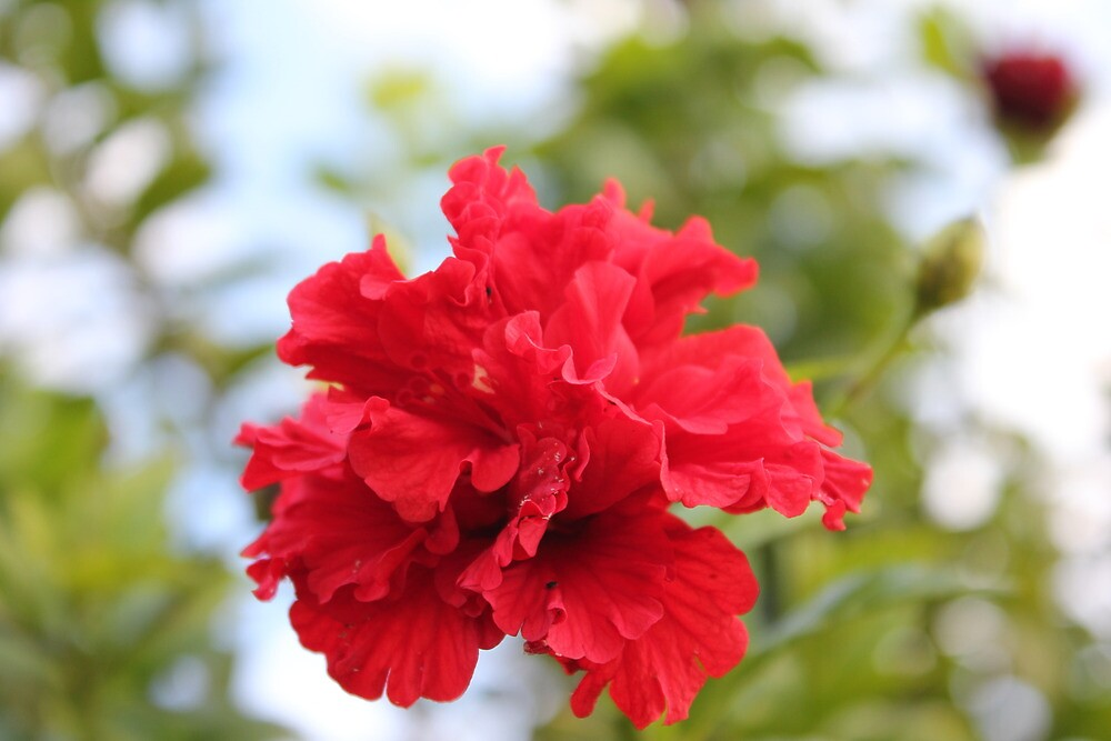 Beautiful red flower by AriaTees