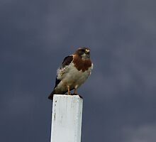 Hawk on the Fence by Alyce Taylor