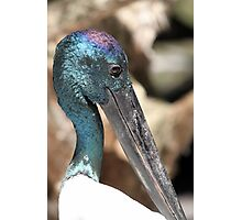 Black-necked Stork Photographic Print