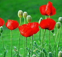 Bright Red Poppies by Jennifer Hulbert-Hortman
