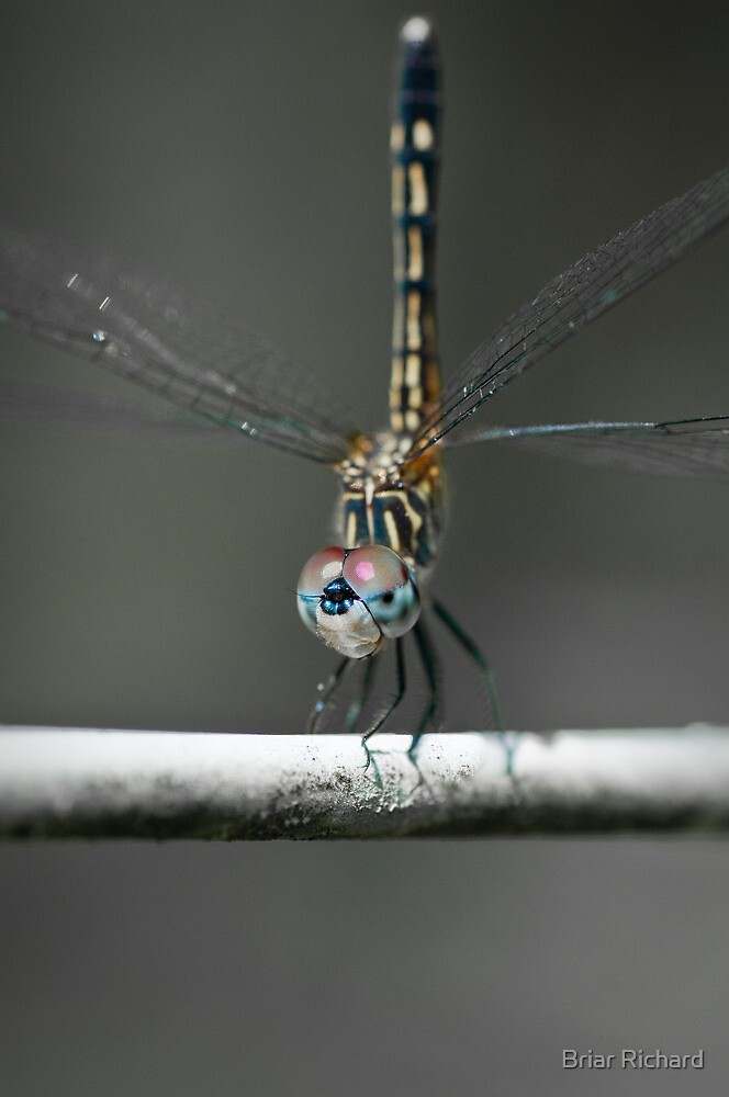 Blue Dasher  by Briar Richard